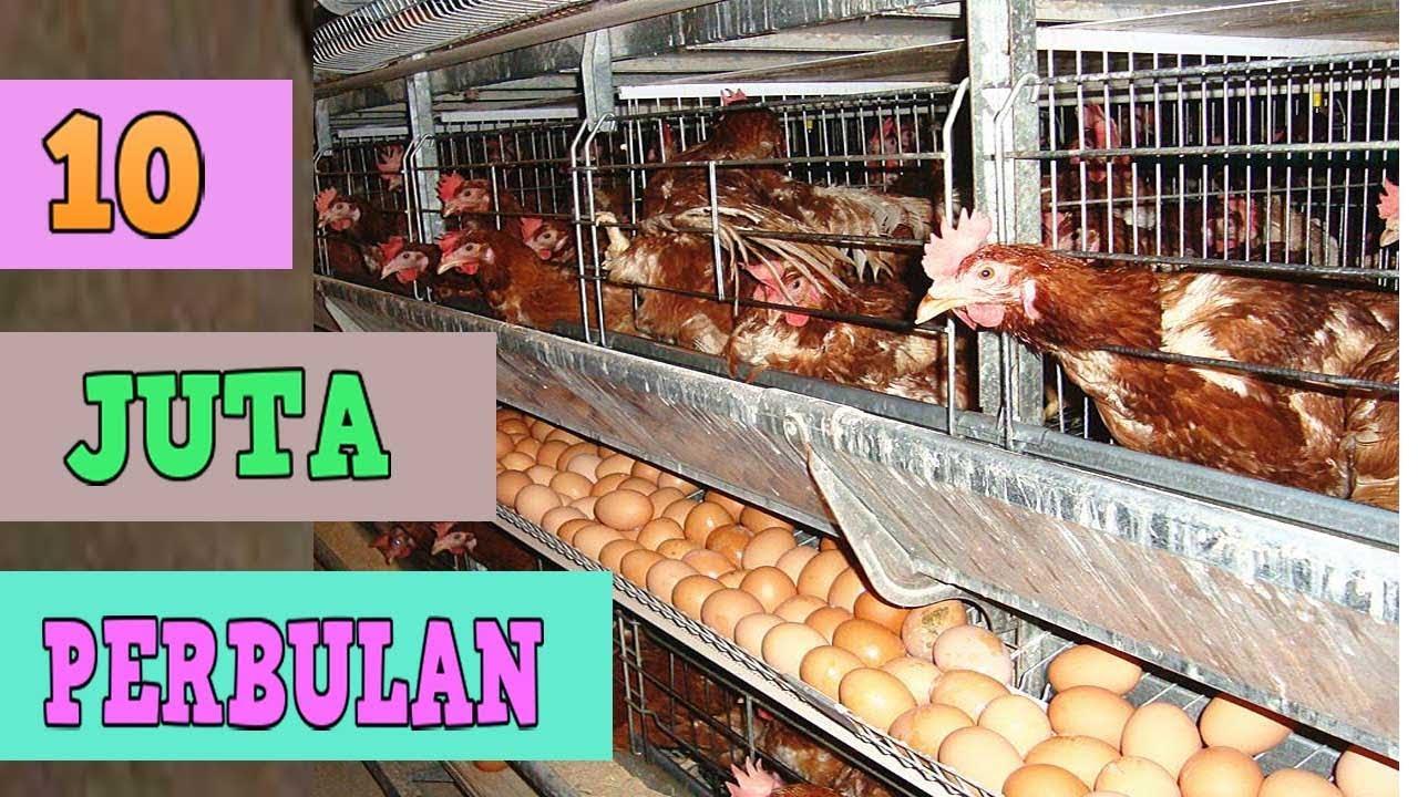 3 Cara Ternak Ayam Petelur Yang Harus Kamu Ketahui! - Koinx.id